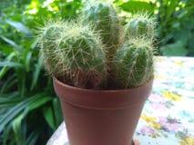 To jest kaktusowy zdjęcia stock