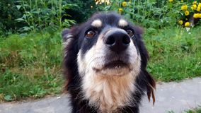 To jest mój psi laik Wącha bardzo złego obrazy stock