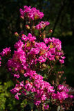 Fushia kwiaty Fotografia Stock