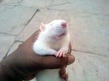 To jest wizerunek biała mysz która siedzi na głowie obraz stock