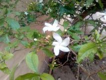 To jest wizerunek biały kwiat z zielonymi liśćmi zdjęcia royalty free