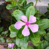 To jest wizerunek nayan Tara kwiat zdjęcie royalty free