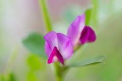 Kwiat wyka Fotografia Royalty Free