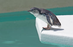 To Jump or Not to Jump ... Fairy Penguin  (Eudyptula minor), also called Little Penguin, Little Blue Penguin, Blue Penguin, or Korora (from Maori language Royalty Free Stock Images