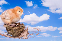 About to Leave the Nest Stock Photography