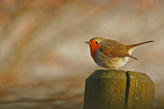 To the left. Robin in winter looking left from a fence post Stock Images