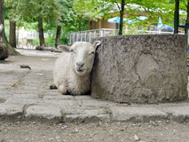 To lie sheep background Stock Photo