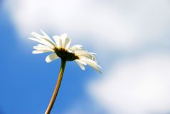 To look at the clouds. Sun, Camomile, Blue Sky and Big White Clouds Royalty Free Stock Photos