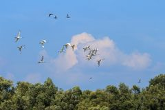Flying spoonbills in the Hengforderwaarden, Holland Royalty Free Stock Photo