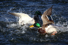 To male mallard ducks fighting. In a lake Royalty Free Stock Images