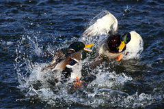To male mallard ducks fighting. In a lake Royalty Free Stock Image
