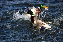 To male mallard ducks fighting. In a lake Royalty Free Stock Photography