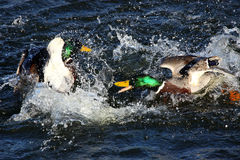 To male mallard ducks fighting. In a lake Stock Image