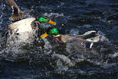 To male mallard ducks fighting Stock Photo