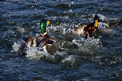 To male mallard ducks fighting. In a lake Stock Photos