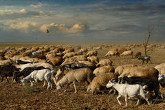 To pasture. Sheep and goats in the pasture royalty free stock photography