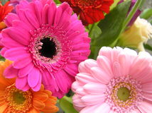 To pink gerbera daisies. Close up shot of a fresh spring bouquet with multi colored gerbera daisies Stock Photos