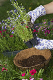 About to plant hanging basket. Gardener is about to plant some Commelina Electric Blue Annuals into a coco lined wired hanging basket. assortment of flowers in Royalty Free Stock Photo