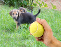 To play ball. Closeup of a human hand with a tennis ball to play with a small dog Stock Photo