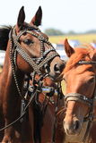 To play the horses Royalty Free Stock Photography