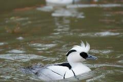 To pojawiać się jest Biały nurogęś, inaczej dzwoniący Smew kaczka Zdjęcia Stock