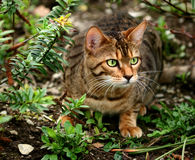About to Pounce. Bengali special breed kitten about to pounce in a flowerbed Stock Image