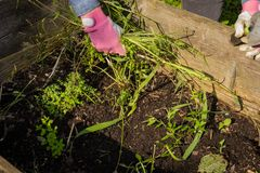 To pull up weeds from a raised bed. To clear up the raised bed of weeds royalty free stock photo