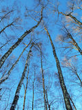 To reach for the sky. High birches in the forest on the blue sky background Stock Photos