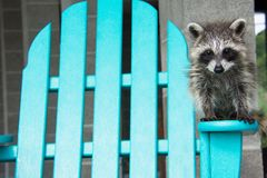 A baby raccoon standing on an Adirondack chair. To the right of the picture, a baby raccoon is balancing on the arm of an aqua blue Adirondack chair outside in stock photos
