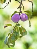 To ripe plums on the branch Stock Image