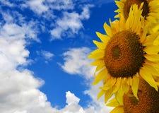tło słonecznik Zdjęcie Royalty Free