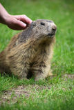 To stroke a marmot Royalty Free Stock Image