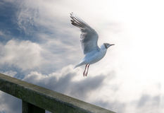 To the Sun. Gulls flying to the sun Royalty Free Stock Images