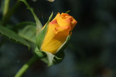 To the sun. Bud of yellow roses in its movement towards the sun Stock Images
