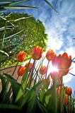 To the Sun - Red Tulips Royalty Free Stock Photos