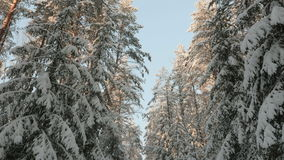 To the tops of the trees. Winter forest stock footage