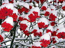 To us is warmer under snow. Berries of a mountain ash covered by the first snow Royalty Free Stock Photo