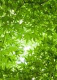 Tło Zieleni liście Japońskiego klonu Drzewny baldachim Overhea Fotografia Royalty Free