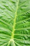 Tło zielony tropikalny liść, naturalna scena Obraz Stock