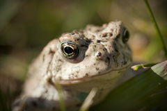 Toad. A Toad sitting in the green grass Royalty Free Stock Photos