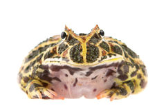 Toad. Close shot of a toad. Isolated royalty free stock photography
