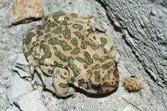 Toad. Big toad from capadoccia, turkey Royalty Free Stock Photography