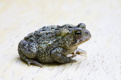 Free Toad Royalty Free Stock Photos - 14837408