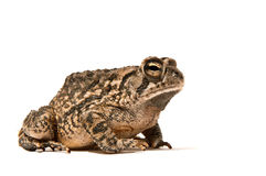 Toad Royalty Free Stock Images