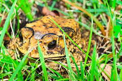 The toad. Closeup a toad in the meadow Stock Photography