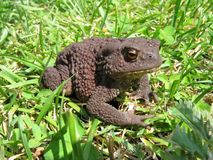 Toad. Sitting in grass Royalty Free Stock Photography