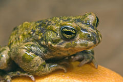 Toad. Sitting on orange close up Stock Photo