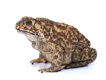 Toad Stock Photos