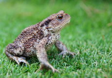 Toad. Green and brown toad on a grass Stock Images