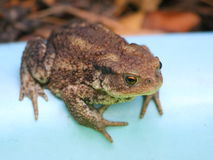 Toad. Green and brown toad on a side of swimming pool Stock Photography
